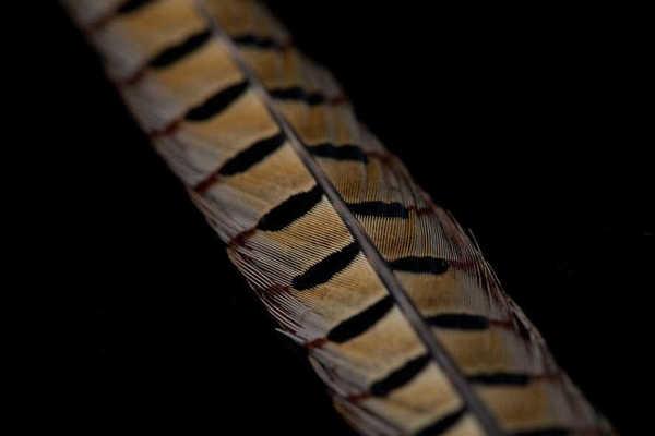 Bild på Ring Neck Cock Pheasant Tail Natural